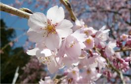 舞台桜花弁