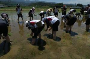 ⑥最初は上手く植えれない生徒もいましたが、隊員も間に入り教えながら、和気あいあいと。 田んぼの両側より植えはじめあと少しです。