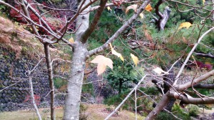 11-17伊賀楓の葉