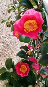 12-25紅妙蓮寺花