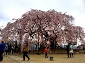 4‐6舞台桜3