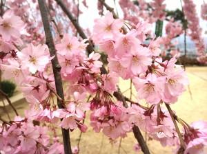4-3舞台桜3