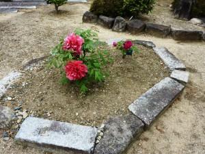 4-27牡丹の花
