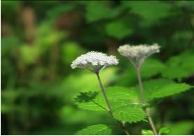 「山アジサイ」もこの季節を代表する花です