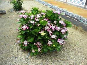 7-7紅紫陽花