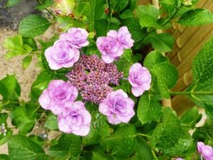 7-7紫陽花アップ